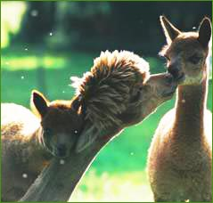 The WhyNot Alpacas Herd in Cumbria