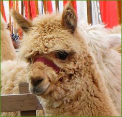 Alpacas on show at local Cumbrian exhibitions and events