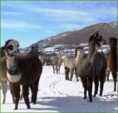 Alpacas in the snow-covered fields of Sedbergh