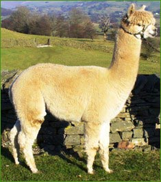 Greenholme Bolly alpaca stud